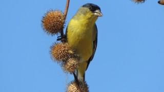 Lesser-Goldfinch-06