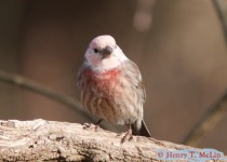 Leucistic-House-Finch