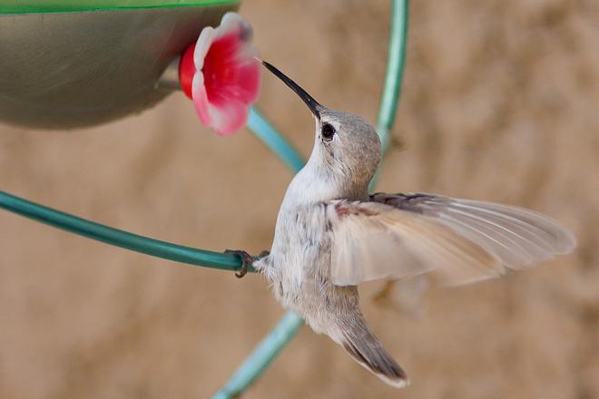 Leucistic-Hummingbird
