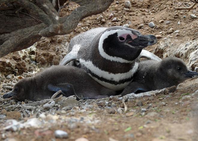 Magellanic-Penguin-with-chicks
