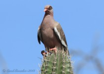 Bare-Eyed Pigeon of Aruba