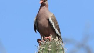 Bare-Eyed Pigeon of Aruba