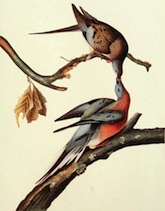 Passenger Pigeon (Columba Migratoria), by John James Audubon [Public domain], via Wikimedia Commons.