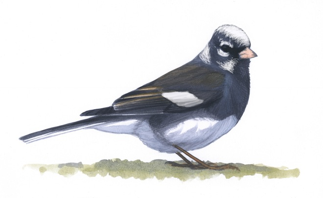 Feathers around the eyes and on the crown, nape, malar, and wings of this Slate-colored Dark-eyed Junco lack all melanin pigment, leaving the bird with pied plumage. White feathers can appear in any pattern on partial albinos but on this bird are clustered along normal feather tracts. Art by David Allen Sibley.