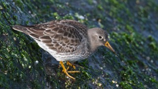 Purple Sandpiper ©2014 Gene McGarry
