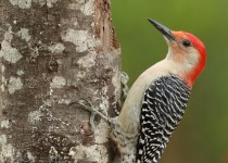 Red-bellied-Woodpecker-on-setup
