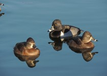 Ring-necked-Duck-17-1