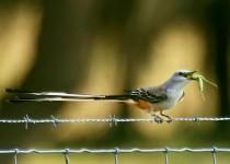 Scissor-tailed-Flycatcher-with-a-treat