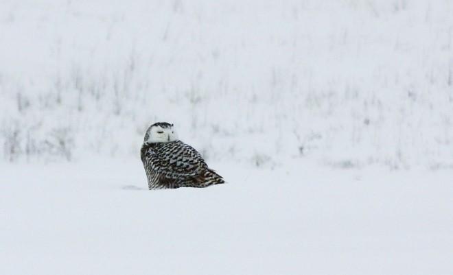 Snowy-Owl-II-029