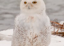 Snowy-Owl-Visitor-JanetDimattia