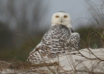 Snowy-Owl14