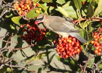 Waxwing-Cedar-2013-12-26-141