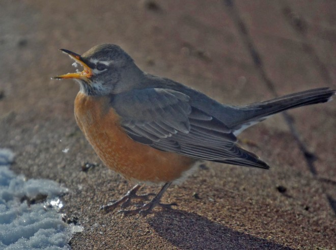 american-robin-1-23-14-lighting
