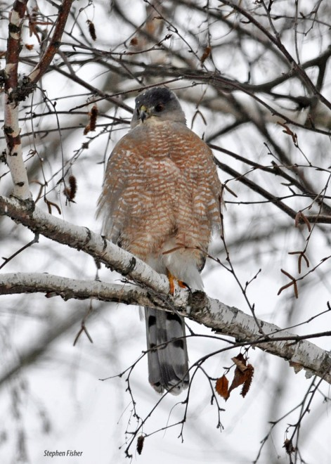 coopershawk0535-copy