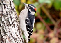 downy-woodpecker-copy