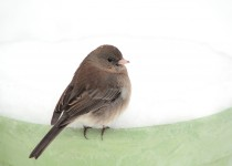 happy-new-year-junco-rs
