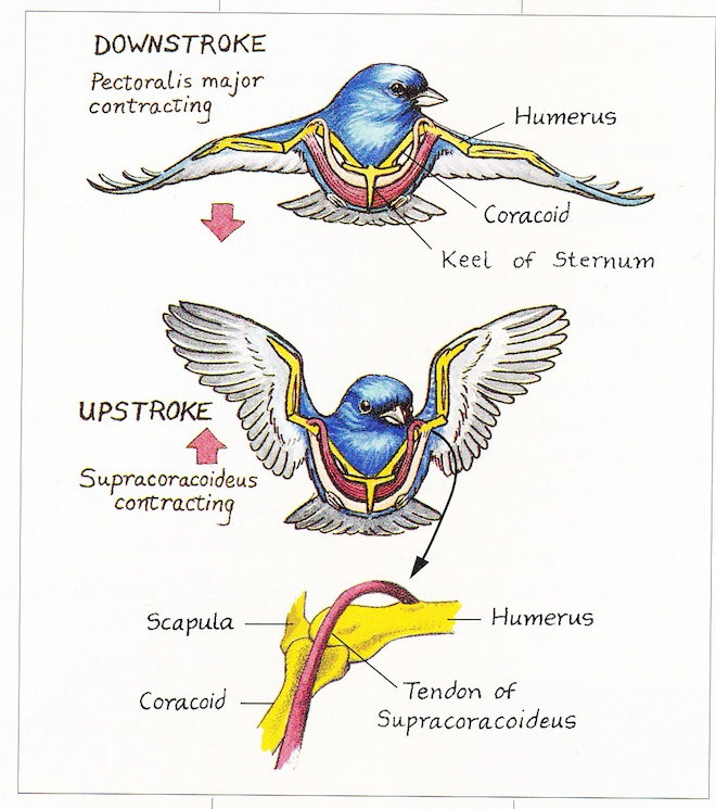 The muscles that cause wings to move down and up are highlighted in red above. The bones and tendon that make up a bird's ingenious pulley are shown at bottom. Illustration by Denise Takahashi.
