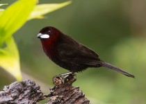 silver-beaked-tanager