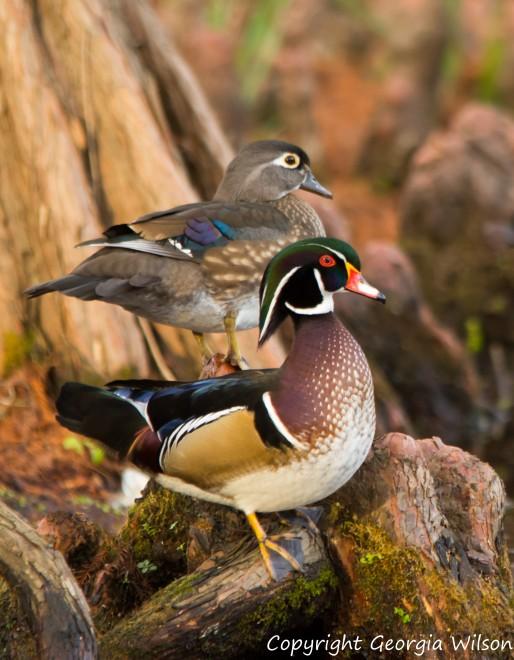 wood-ducks-5989