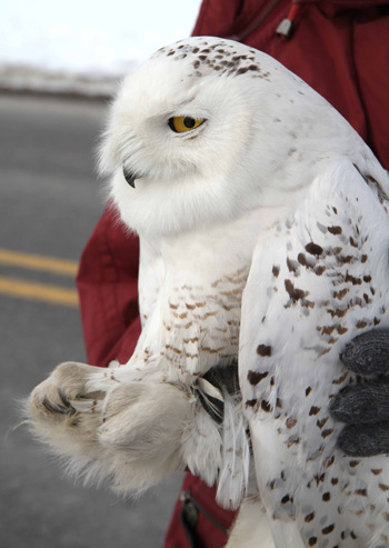 This Snowy Owl, known as Amishtown, received a transmitter after being captured February 12 at the Philadelphia airport. Photo by Scott Weidensaul