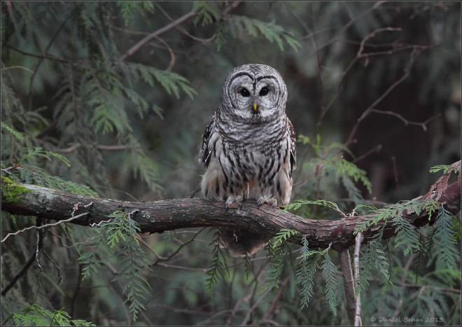 Barred-Owl-in-Habitat