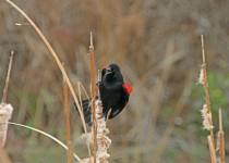 BlackBird4