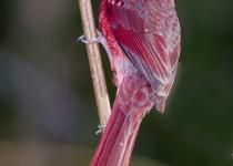 CardinalOnReed