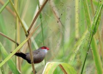 Common-Waxbill_5425