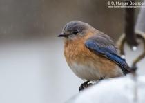 DSC0004-Eastern-Bluebird
