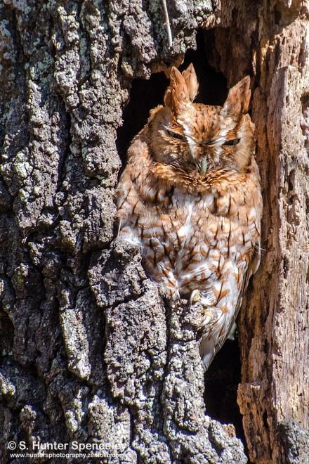 DSC0008-Eastern-Screech-Owl