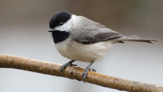 DSC0026-Carolina-Chickadee