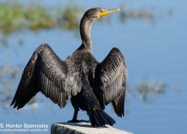 DSC0123-Double-crested-Cormorant