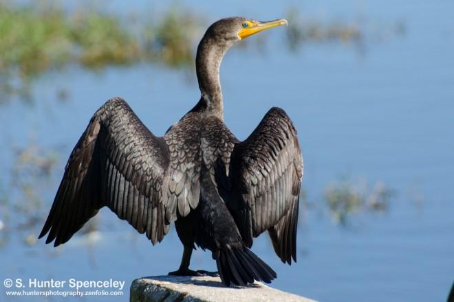 DSC0123-Double-crested-Cormorant