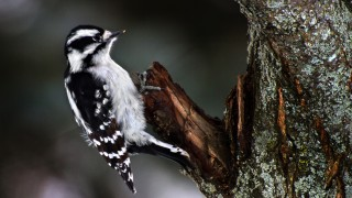 Downy-Woodpecker-F_med