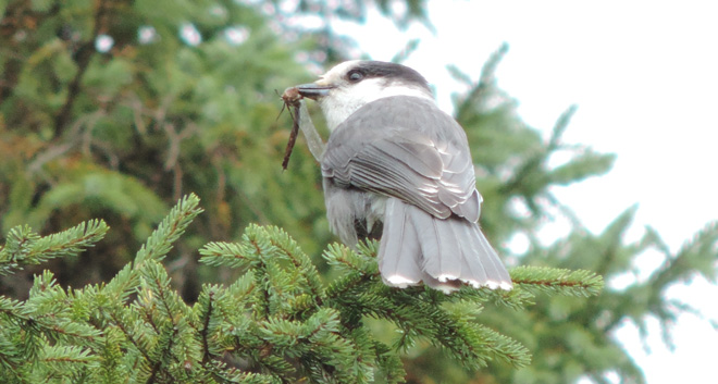 Gray Jay (Perisoreus canadensis), Bloomingdale Bog, Bloomingdale, New York, October 5, 2013, 2:59 p.m. by Doug Emlin