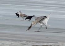 Glaucus-Gull