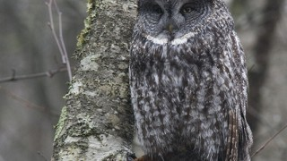 Great-Gray-Owl-2