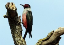 Lewiss-Woodpecker