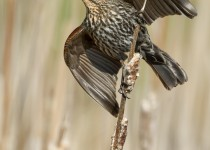 Red-winged Blackbird, female, in Keswick, Ontario, by Nick Shearman.