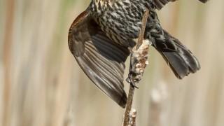 Red-winged Blackbird, female, in Keswick, Ontario, by Nick Shearman.