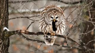 Owlmouse