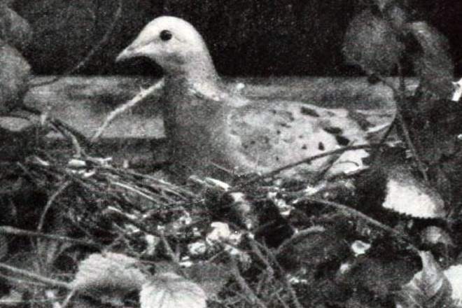 Passenger Pigeon on nest, 1896/1913, by J.G. Hubbard, Wikimedia Commons.
