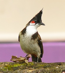 Red-whiskered Bulbul (Pycnonotus jocosus), Kannur, Kerala, India, by Sandeep Gangadharan, Wikimedia Commons.