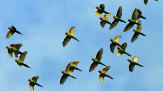 Red-masked-Parakeet_7300