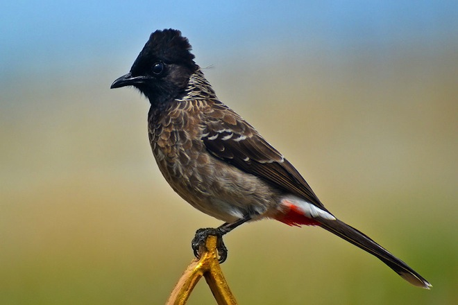 Red-vented Bulbul (Pycnonotus cafer) perched on the front gate of a house in Tirunelveli, Tamil Nadu, India, by K. Hari Krishnan, Wikimedia Commons.