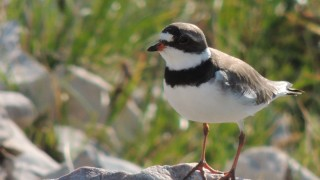 Semipalmated-Plover-4
