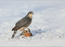 Sharp-Shinned-Hawk-with-Prey