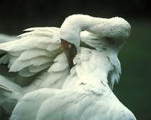 Siberian Crane (Grus leucogeranus), courtesy of International Crane Foundation.