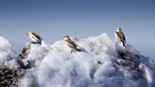 Snow-Buntings_med
