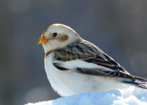SnowBunting2forweb